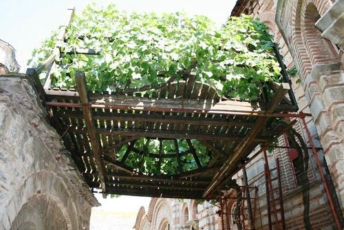 Виноград Святого Симеона