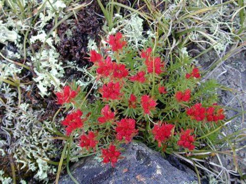 Красная щетка трава