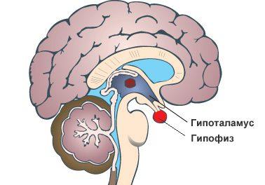 Гипоталамус и гипофиз