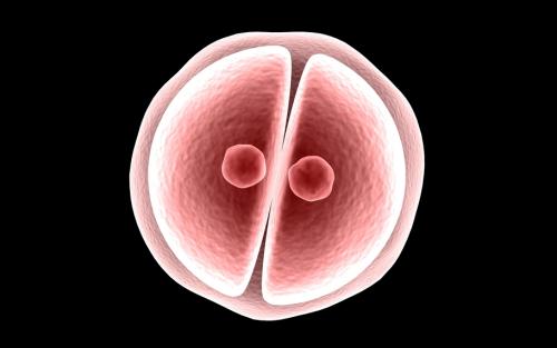 Оплодотворенная яйцеклетка