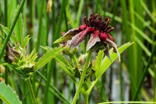 Травяные сборы при мастопатии